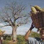Organic Baobab Harvest